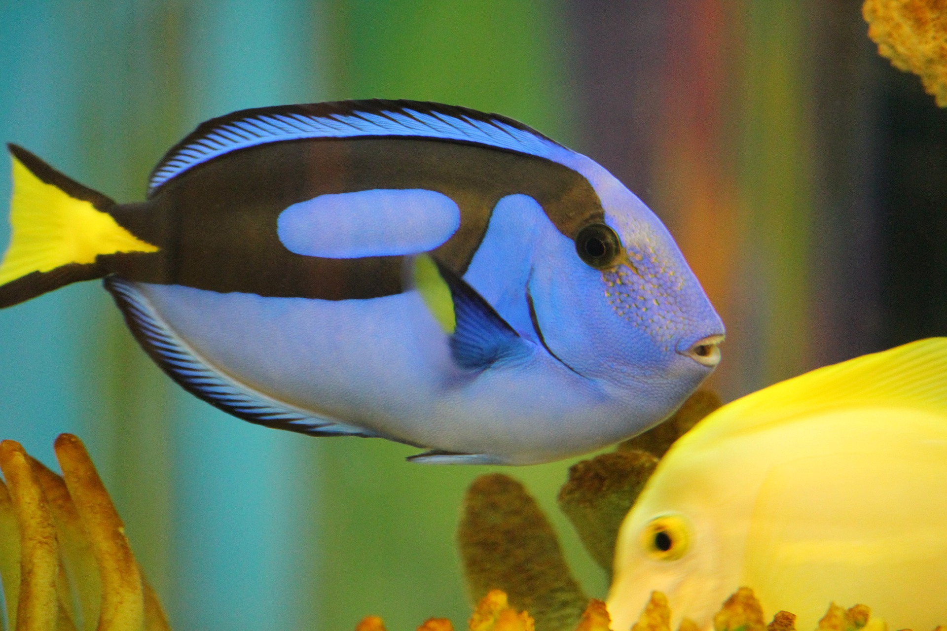 Are we finding dory or losing dory divehq christchurch for Tang saltwater fish