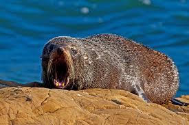 seal yawn