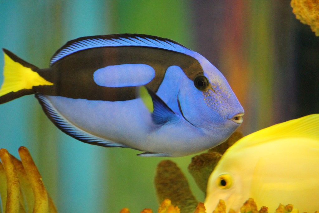 Regal Blue Tangs like Dory cannot be bred in captivity