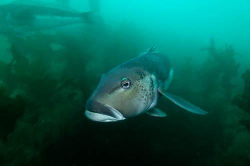 Blue Cod